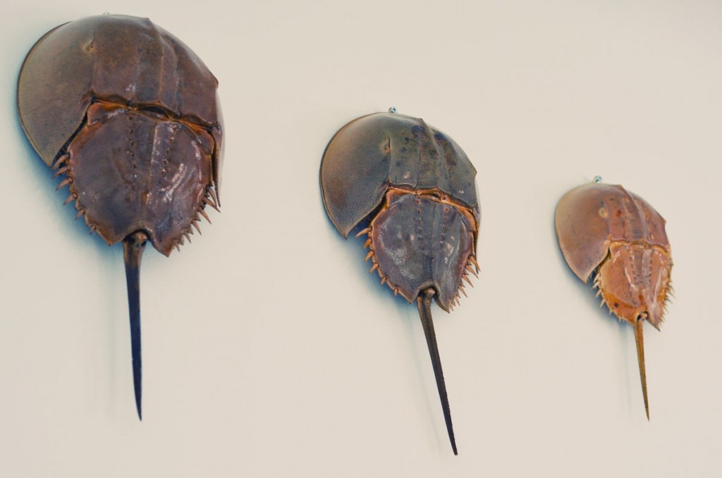 horseshoe crab cartoon. horseshoe crab blood.